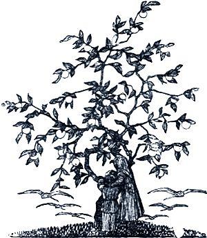 Яблоня её заслонила веточками, прикрыла листочками; пролетели гуси и не видели. Иллюстрация к русской народной сказке «Гуси-лебеди». Издание 1916 г.
